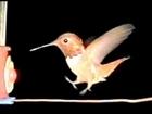 Funny Feet! Hummingbird Landings Slow Motion 300fps Casio EX-F1