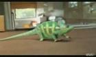 Un caméléon super cool